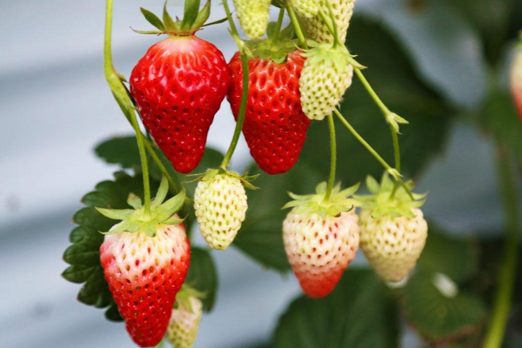 Strawberry Picking At The Agripark Iwaki