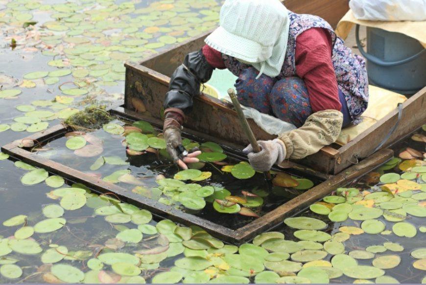Junsai Picking