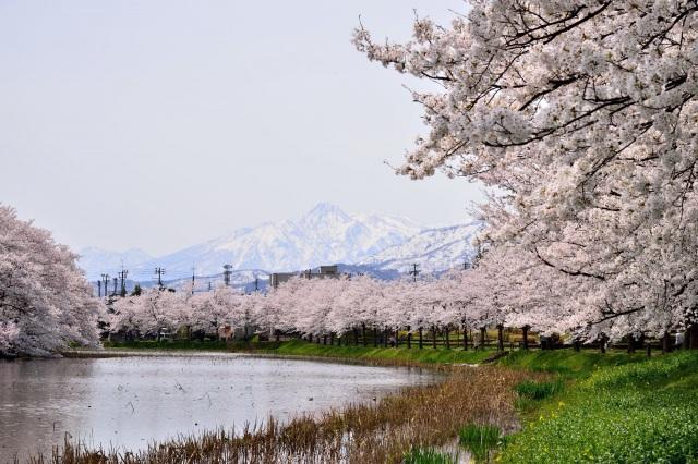 約4,000本もの桜が咲き誇る