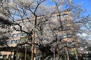 Rock-breaking Cherry Tree