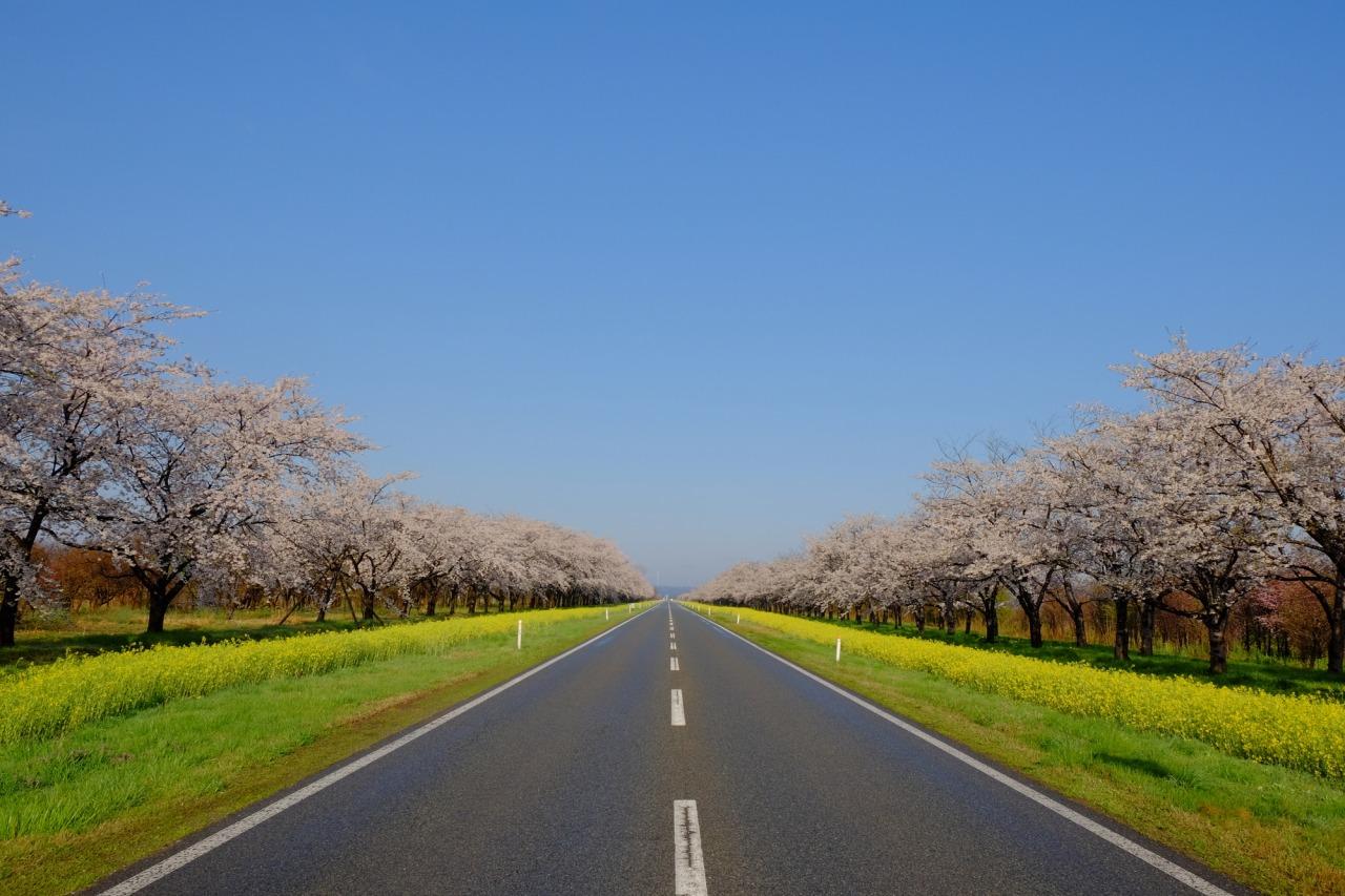 Sakura-Nanohana Road