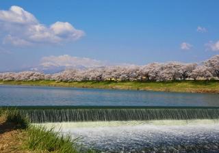 Shiroishigawa Embankment Hitome Sembonzakura