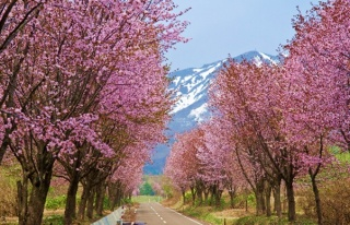 See the world's longest row of cherry blossoms in Aomori!
