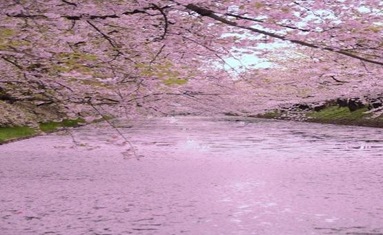 4/20~5/2八甲田  雪壁回廊与弘前樱花节
