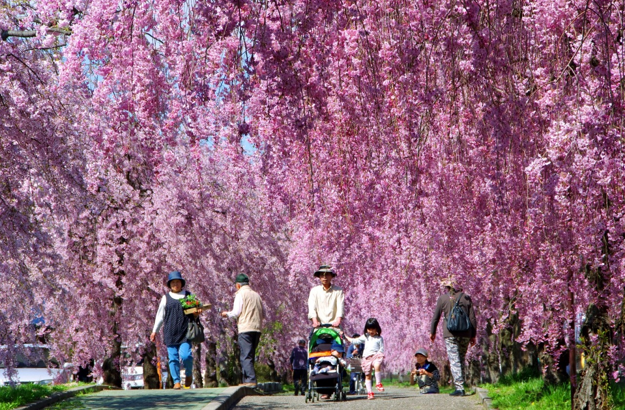 桜 しだれ